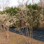 Lonicera × purpusii/ Winter honeysuckle フユザキニオイカズラ 冬咲匂葛