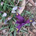 Iris reticulata/ Netted iris/ アイリス・レティキュラータ ミニアイリス