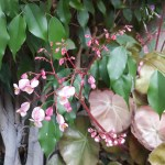 Begonia obliqua/ Obliqua Begonia/ ベゴニア オブリクァ