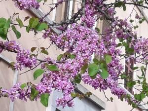 Cercis siliquastrum/ Judas tree / セイヨウハナズオウ