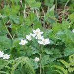 Anemone flaccida/ Wind flower/ ニリンソウ 二輪草 figure of flowers