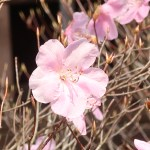Rhododendron pentaphyllum var. nikoense/ アカヤシオ 赤八汐 Figure of flower