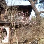 Rhododendron pentaphyllum var. nikoense/ アカヤシオ 赤八汐 flowering figure