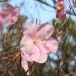 Rhododendron pentaphyllum var. nikoense/ アカヤシオ 赤八汐