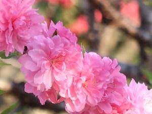 Amygdalus persica/ Peach/ モモ
