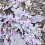 Ajuga decumbens/ キランソウ 金瘡小草 Figure of flowering
