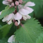 Lamium album var. barbatum/ White nettle/ オドリコソウ
