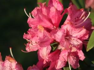 Rhododendron x hybridum/ Rhododendron/ セイヨウシャクナゲ