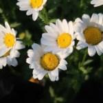 Mauranthemum paludosum/ ノースポール/ カンシロギク (寒白菊)