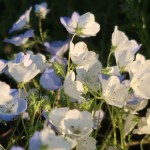 Nemophila menziesii/ Baby blue eyes/ ネモフィラ