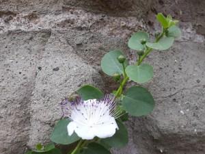 Capparis spinosa/ Caper/ Cappero/ ケッパー