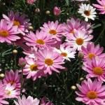 Argyranthemum frutescens/ Marguerite/ マーガレット