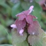 Lamium purpureum/ Red dead-nettle/ ヒメオドリコソウ