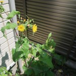Sonchus oleraceus/ Common sowthistle/ ノゲシ