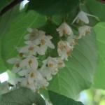 Styrax obassia/ Fragrant Snowbell/ ハクウンボク