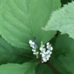 Chloranthus serratus/ フタリシズカ
