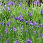 Iris laevigata/ Rabit-ear iris/ カキツバタ