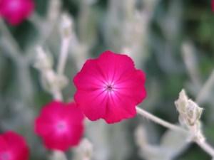 Lychnis coronaris/ Rose campion/ スイセンノウ