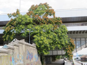 Ailanthus altissima/ Tree of heaven/ ニワウルシ