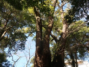 Cinnamomum camphora/ Camphor Laurel/ クスノキ camphor tree in Kinomiya shrine