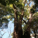 Cinnamomum camphora/ Camphor Laurel/ クスノキ camphor tree in Kinomiya shrine