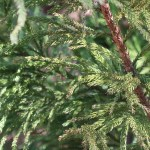 Cryptomeria japonica/ Japanese cedar/ スギ 杉