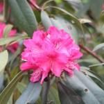 Rhododendron x hybridum/ Rhododendron/ シャクナゲ