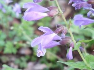 Meehania urticifolia/ south-east Asian woodlander/ ラショウモンカズラ