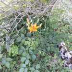 Lilium croceum/ Orange lily/ リリウム・ブルビフェルム