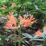 Lycoris sanguinea/ Orange Spider Lily/ キツネノカミソリ