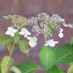 Hydrangea serrata/ Mountain hydrangea/ ヤマアジサイ 品種名 九重山
