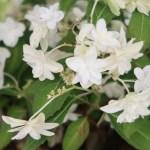 Hydrangea serrata/ Mountain hydrangea/ ヤマアジサイ 品種名 白富士