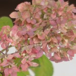 Hydrangea serrata/ Mountain hydrangea/ ヤマアジサイ 品種名 秋篠テマリ