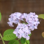 Hydrangea serrata var. megacarpa/ Ezo hydrangea/ エゾアジサイ 品種名 雪手まり
