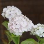 Hydrangea macrophylla/ Bigleaf hydrangea/ アジサイ 品種名 コデマリ