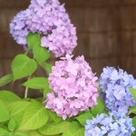 Hydrangea macrophylla/ Bigleaf hydrangea/ アジサイ 品種名 四季咲ヒメアジサイ