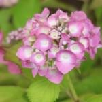 Hydrangea macrophylla/ Bigleaf hydrangea/ アジサイ 品種名 西洋アジサイ アルトナ