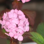 Hydrangea macrophylla/ Bigleaf hydrangea/ アジサイ 品種名 プレジオサ
