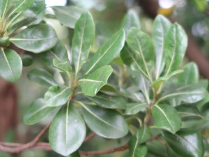 Pittosporum tobira/ Japanese pittosporum/ トベラ