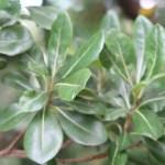 Pittosporum tobira/ Japanese pittosporum/ トベラ