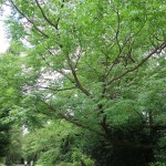 Melia azedarach/ Chinaberry tree/ センダン
