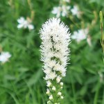 Liatris spicata/ Prairie gay feather/ リアトリス