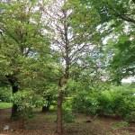 Cleyera japonica/ Japanese cleyera/ サカキ