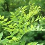 Styphnolobium japonicum/ Japanese Pagoda Tree/ エンジュ