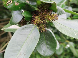 Ilex latifolia/ Tarajo holly/ タラヨウ
