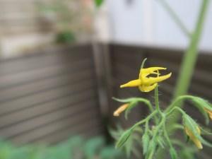 Solanum lycopersicum/ Tomato/ トマト
