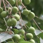 Sapindus mukorossi/ Indian Soapberry/ ムクロジ