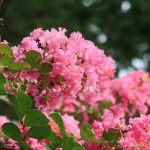 Lagerstroemia indica/ crepe myrtle/ サルスベリ