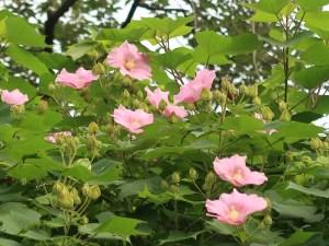 Hibiscus mutabilis/ Confederate rose/ フヨウ