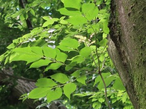 Fraxinus lanuginosa/ Japanese Ash/ ヤマトアオダモ
